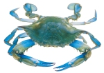 This is a blue crab. The color is quite pretty, it tastes great, and, like many animals, its habitat is in danger.